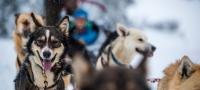 Hundeschlittenfahrten