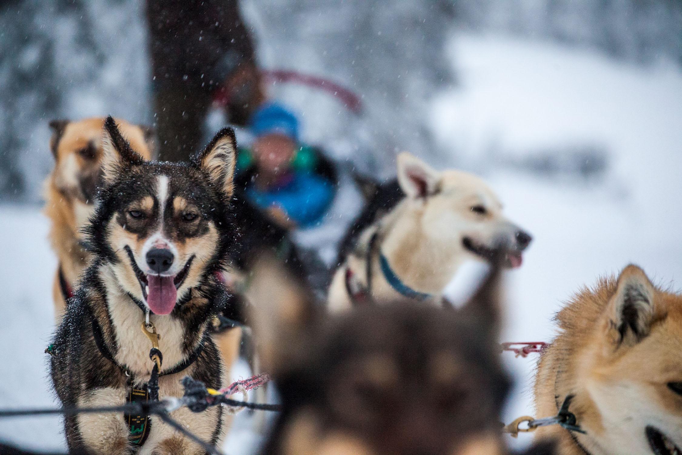 Dogsledding at Sun Peaks Resort