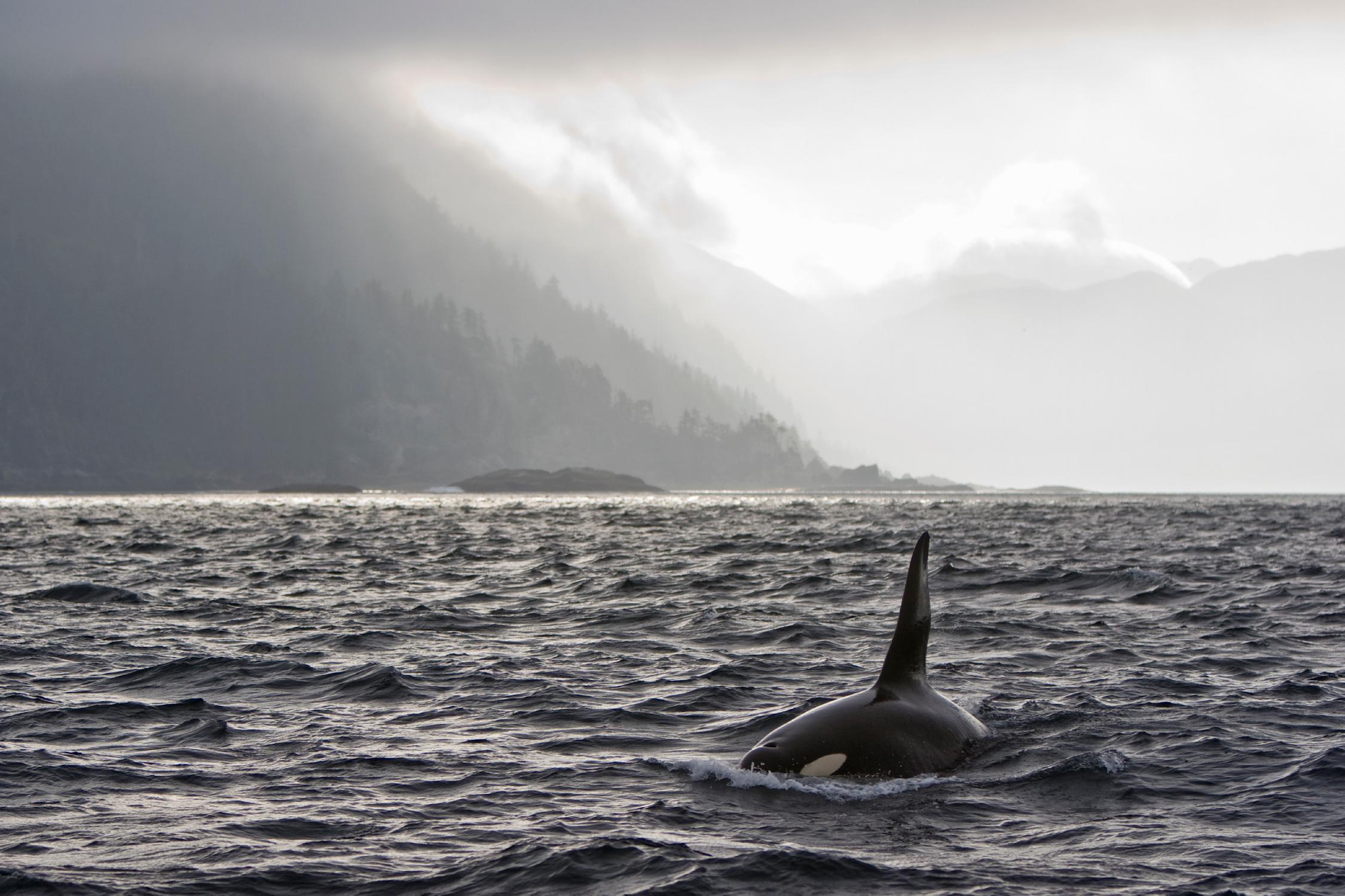 Orca swimming off Queen Charlotte Islands, British Columbia, Canada