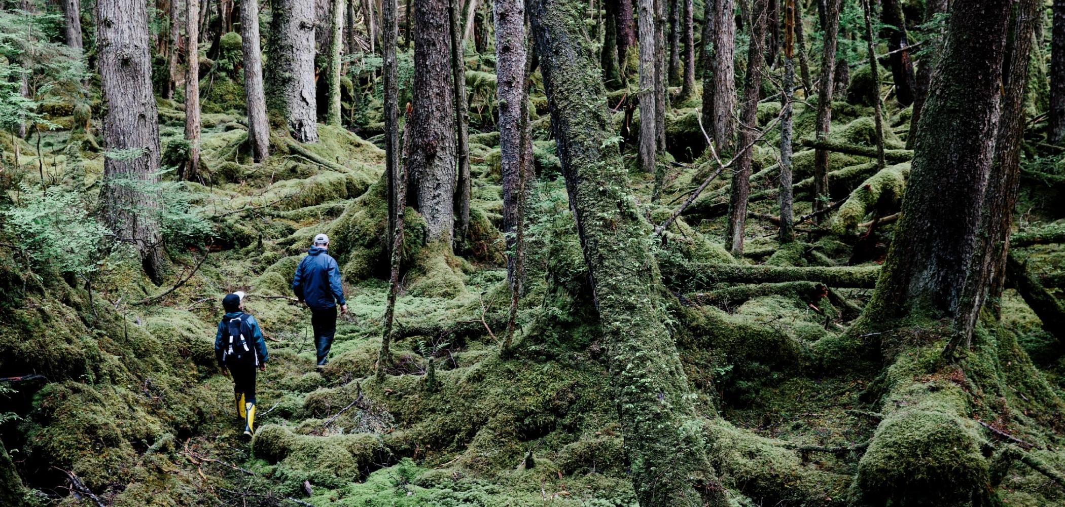 Two hikers hiking through tall trees in the Haida Gwaii