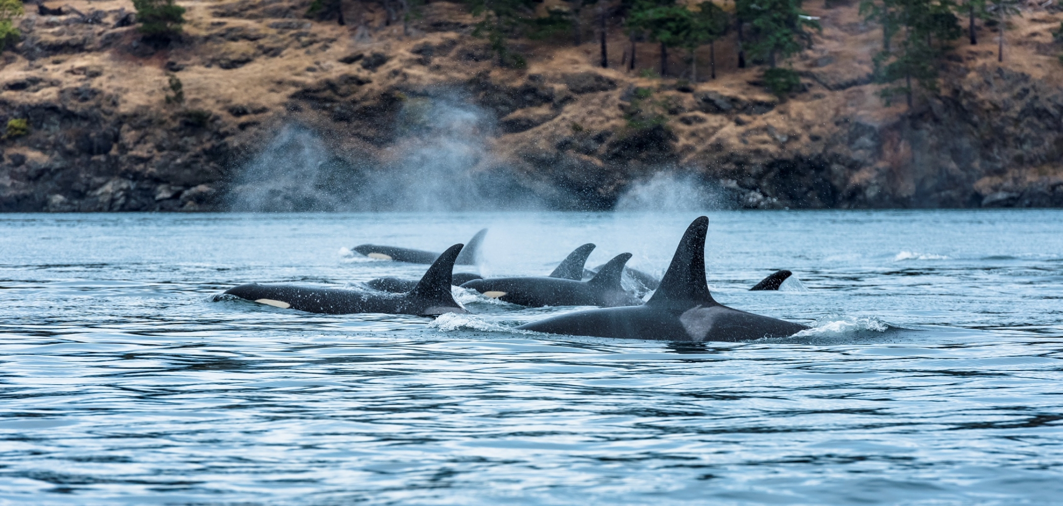 A pod of orcas off Vancouver Island.
