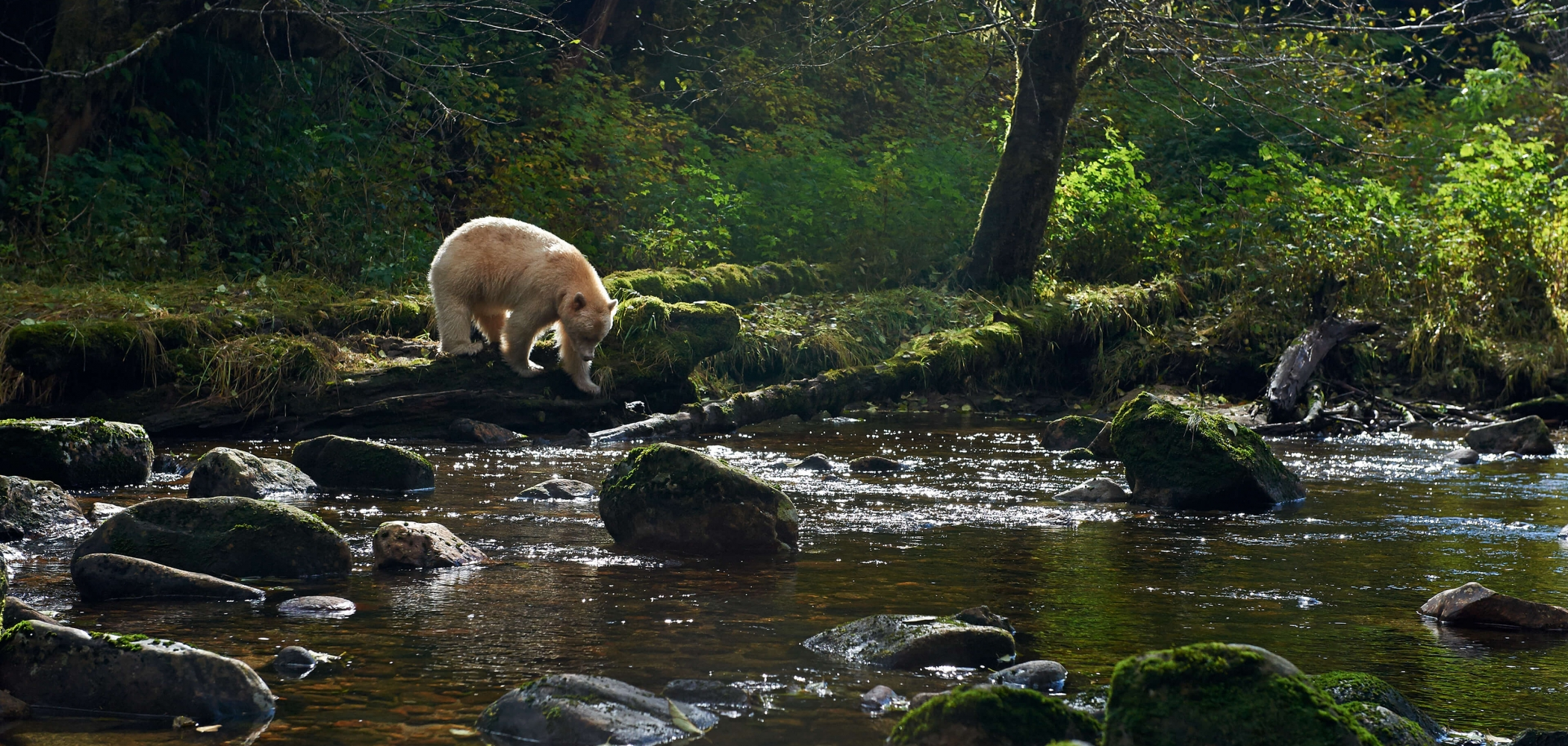 Spirit Bear in the Great Bear Rainforest. Photo: Stephen Harrington