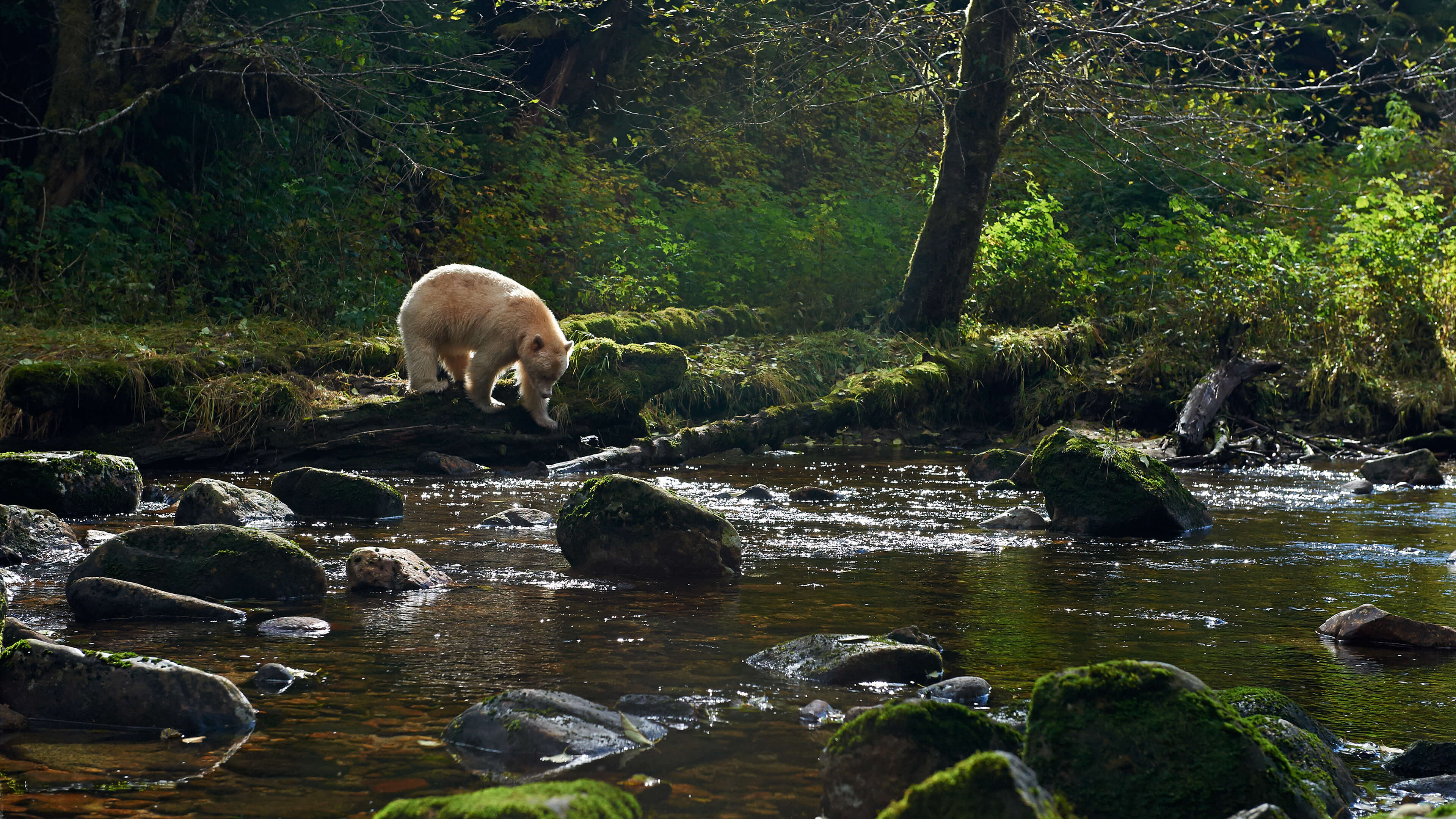 Spirit bear on Gribbell Island in the Great Bear Rainforest | Yuri Choufour
